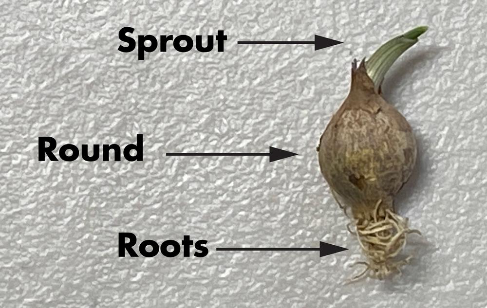 Garlic Round