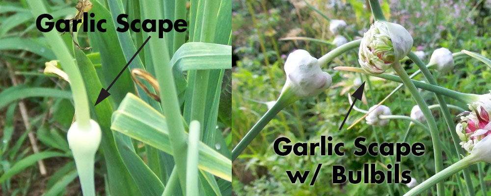 Garlic scape with bulbils