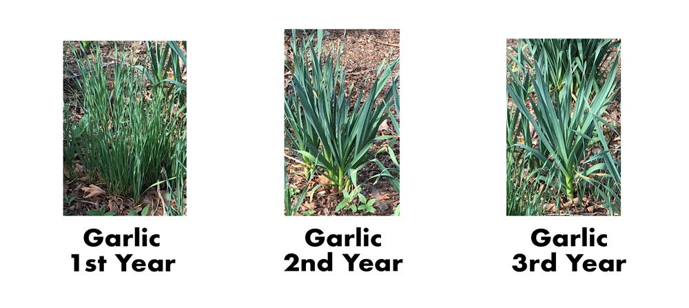 How to grow garlic from seed.